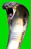 Närbild av 3d för världs` s för konung som Cobra The den längsta giftormen isoleras på grön bakgrund Arkivfoto