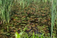 Närbild av dammet med näckrors arkivbilder