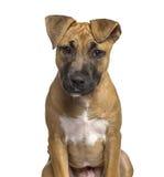 Närbild av den amerikanska Staffordshire Terrier valpen Royaltyfri Fotografi