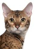 Närbild av den Bengal katten, 7 gammala månader Arkivbild