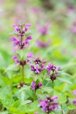 Närbild av den blommande rosa Hampa-nässla blomman Royaltyfri Fotografi