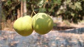 N?rbild av den dubbla pomeloen p? gruppen royaltyfri foto