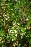 Närbild av den gemensamma myrten i blom, natur royaltyfri fotografi
