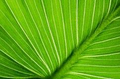 Närbild av den gröna bladcallablomman arkivfoto