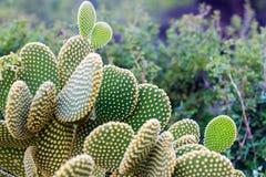 Närbild av den gröna nya kaktuns fotografering för bildbyråer