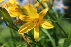 Närbild av den gula blomman med skuggor Royaltyfria Bilder