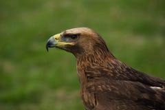 Närbild av den guld- örnen i gräs- fält Royaltyfri Bild