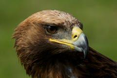 Närbild av den guld- örnen med det vända huvudet Royaltyfria Bilder