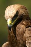 Närbild av den guld- örnen med huvudet ner Royaltyfri Bild