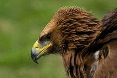 Närbild av den guld- örnen med rufsade fjädrar Royaltyfri Fotografi
