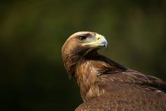 Närbild av den guld- örnen som ser över baksida Arkivbilder