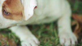 Närbild av den gulliga amerikanska bulldoggvalpen med härliga gröna ögon arkivfilmer