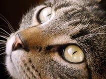 Närbild av den halvblods- kattframsidan Royaltyfri Fotografi