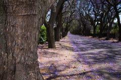 Närbild av den jakarandaträdstammen och gatan med blommor Fotografering för Bildbyråer