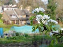 Närbild av den körsbärsröda blomningen med en suddig bakgrund av odlingslottplatsen och hus royaltyfri bild