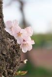 Närbild av den körsbärsröda blomningen, sakura, i Tokyo Arkivbilder