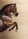 Närbild av den kastanjebruna banhoppninghästen i en hackamore Arkivfoton