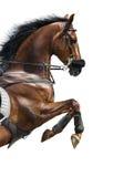 Närbild av den kastanjebruna banhoppninghästen i en hackamore Royaltyfri Bild