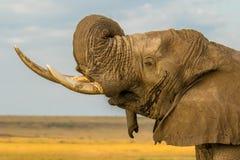 Närbild av den lösa afrikanska savannelefanten från Kenya royaltyfri foto