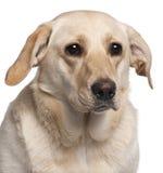 Närbild av den Labrador retrieveren, 11 gammala månader Arkivbild