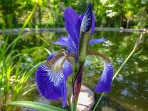 Närbild av den lyxiga blåa SiberianIris Iris sibiricaen mot suddig bakgrund av trädgårddammet Irins är den perenna växten med arkivfoton