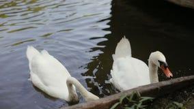 Närbild av den mänskliga handen som matar svanen för två vit som svävar i ett damm i en parkera stock video