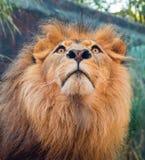 Närbild av den Male lionen Arkivbild