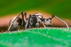 Närbild av den manliga arbetaren guld- Weaver Ant Arkivfoto