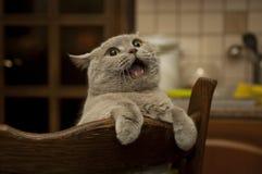 Närbild av den mewing brittiska katten. arkivfoto