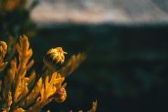 Närbild av den oöppnade blomman av gula argyranthemumfrutescens royaltyfria bilder