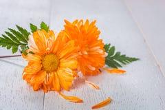 Närbild av den orange gerberaen royaltyfri foto