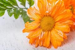 Närbild av den orange gerberaen fotografering för bildbyråer