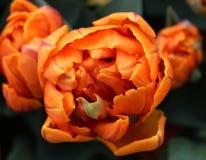 Närbild av den orange prinsessan Double Late Tulip royaltyfria bilder