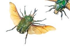 Närbild av den Pronghorn skalbaggelaten Chelorrhina polyphemus, Buru stock illustrationer