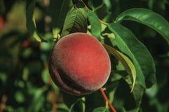 Närbild av den röda mogna persikan som klibbas till den lövrika filialen royaltyfria bilder