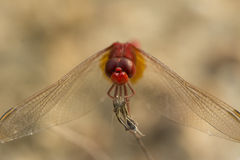 Närbild av den röda sländan Arkivbild