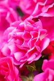 Närbild av den rosa busken Royaltyfri Bild