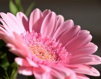 Närbild av den rosa gerberablomman Royaltyfri Fotografi