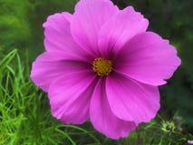 Närbild av den rosa härliga blomman på grön bakgrund Arkivbild