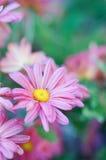 Närbild av den rosa krysantemumet royaltyfri bild