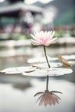 Närbild av den rosa lotusblommablomman på en sjö i Kina, reflexion i vattnet Arkivbilder
