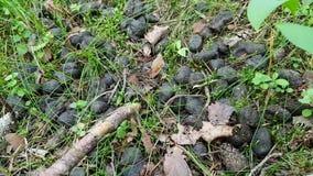 Närbild av den runda aktern av ett djur i träna Liv av vilda djur - vildsvin eller hjortar i skogen i sommar