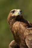 Närbild av den solbelysta guld- örnen underifrån Arkivbilder