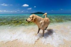 Närbild av den stora solbrända hunden som spelar i havvågorna som jagar en krabba Arkivfoto