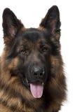 Närbild av den tyska herdehunden, 2 gammala år Arkivbilder