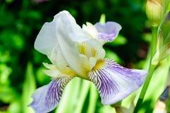 Närbild av den violetta vita irins för blomma i trädgården royaltyfria foton