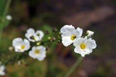 Närbild av den vita blomman Echinodorus som påbörjar i Americas Royaltyfria Foton