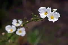 Närbild av den vita blomman Echinodorus som påbörjar i Americas Arkivbilder