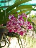 Närbild av den vita rosa orkidén på en färgrik naturlig bakgrund fotografering för bildbyråer