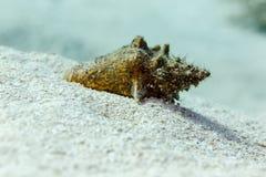 Närbild av det lilla trumpetsnäckaskalet som täckas med sand på reven Royaltyfri Foto